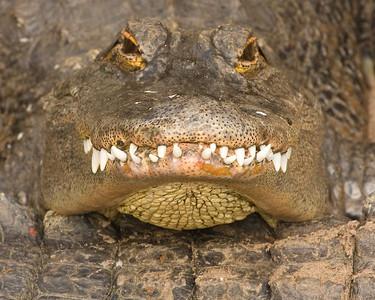 'Gator Grin