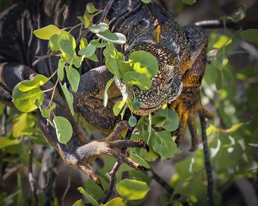 Land iguana, South Plaza Island