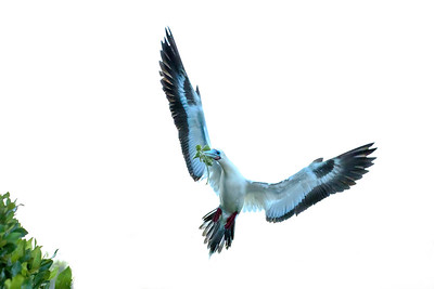 Red-footed booby, white morph