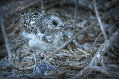 Swallow-tailed gull, chick