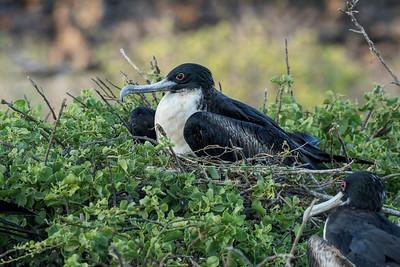 Female great frigatebirds