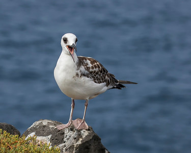 Swallow-tailed gull, juvenile