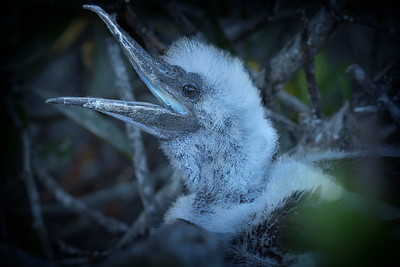 Red-footed booby, juvenile