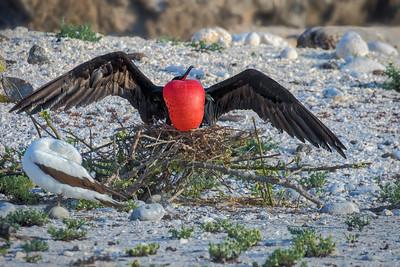 Male frigatebirds at nest