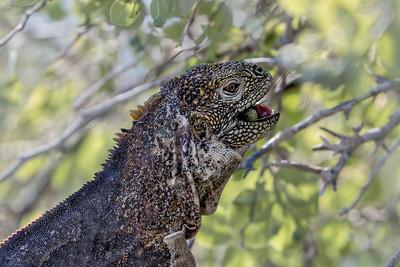 Land iguana, South Plaza