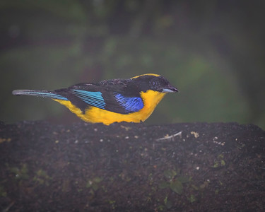 Blue-winged Mountain-tanager