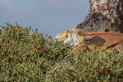 Land iguana, Santa Fe