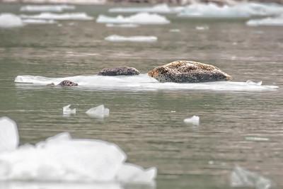 Harbor seals, icebergs near Dawes Glacier