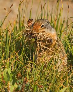 ground squirrel, wildlife, nature, Glacier National Park, Montana