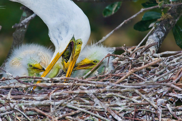 Feeding time, egret chicks