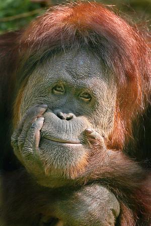 Orangutan, Cincinnati Zoo