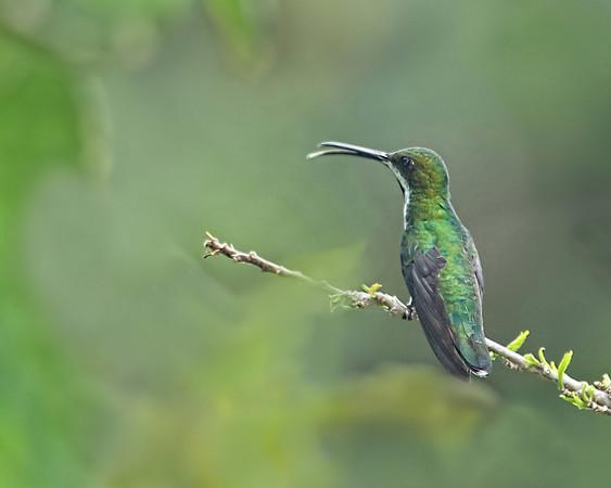 Black-throated Mango, female