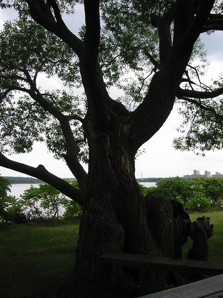 Gnarled tree on Grape Island
