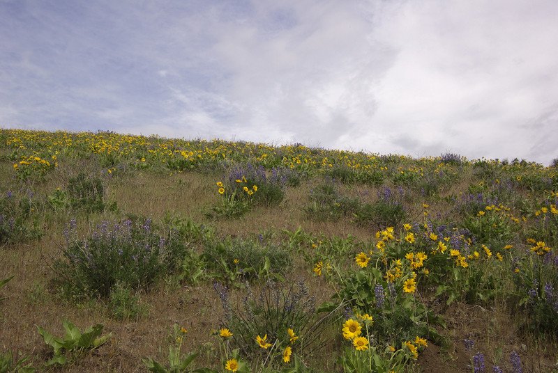 Dalles Mountain trail.  Wild flowers were in fall bloom all over the place.  By the looks of things they were just cresting.