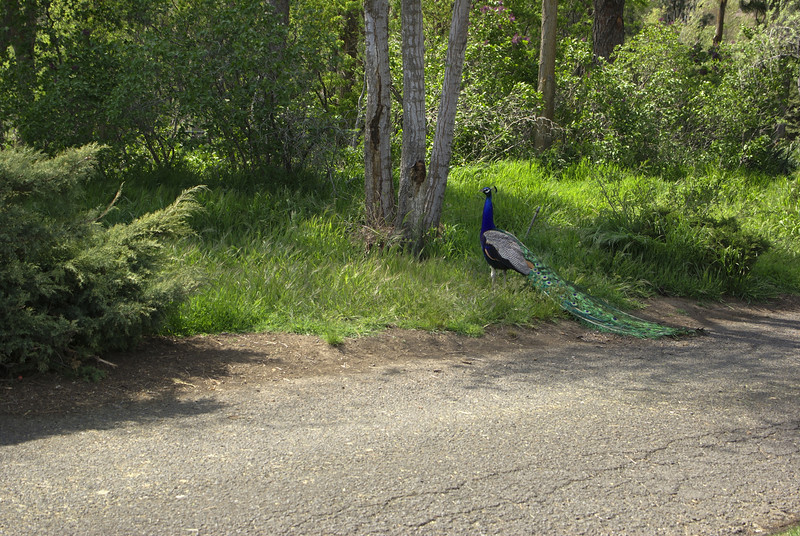There were peafowl all over the Maryhill grounds
