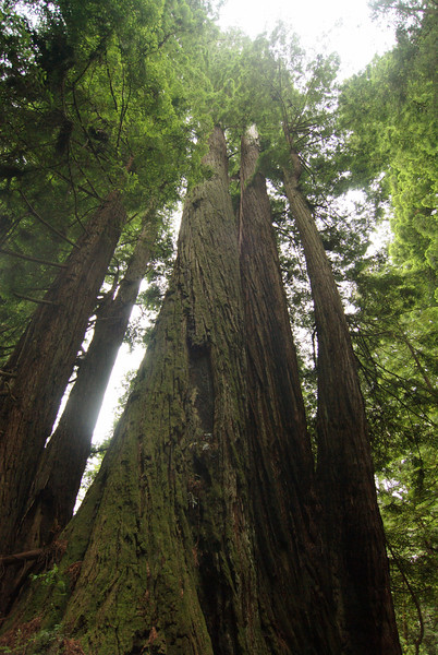 Prairie Creek Redwoods State Park.  Cathedral Trees Trail.