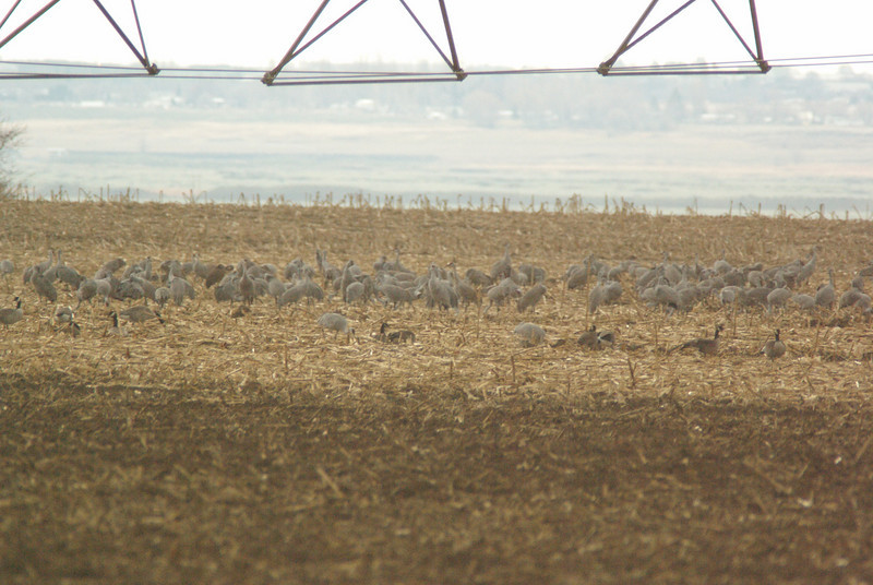 Cranes  and geese in field outside of Othello, WA.  2009