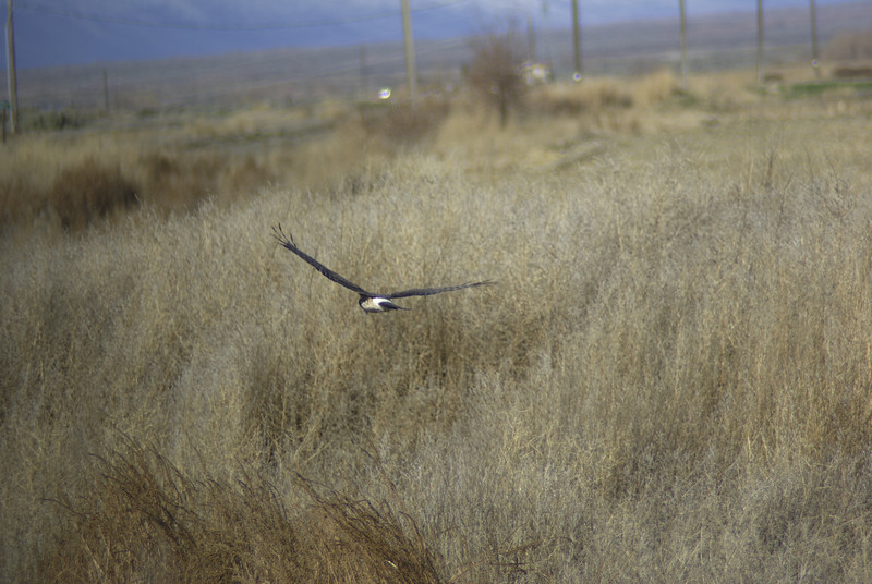 Female Northern Harrier Hawk that was following our bus for a time.  2008