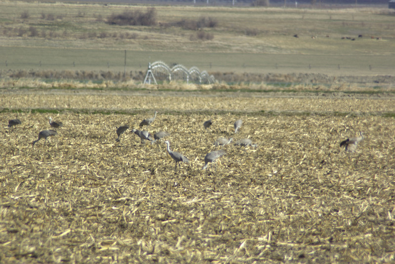 Sandhill cranes feeding north of Othello, WA.  2008