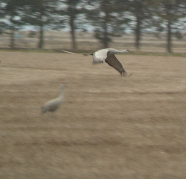 Sand Hill Crane in flight. 2009