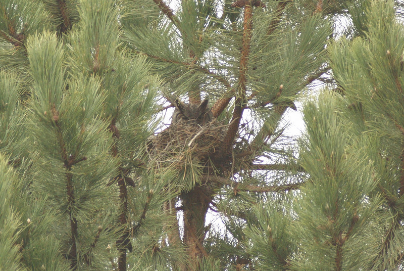 Great horned owl nesting.  Cemetery in Othello, WA. 2009