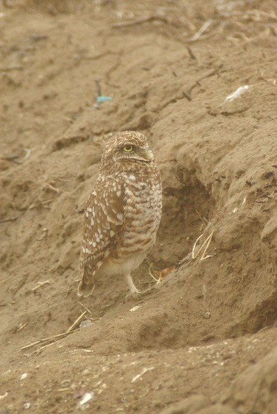 This little borrowing owl was right by the road and really didn't seem to mind that we were less than 40 ft from him in a school bus. Outside Othello, WA, 2009.