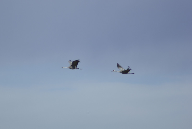 Sandhill cranes in flight  2008