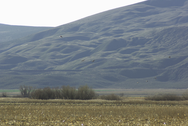 Flock of geese west of Othello, WA.  There might be some cranes in there too.  2008