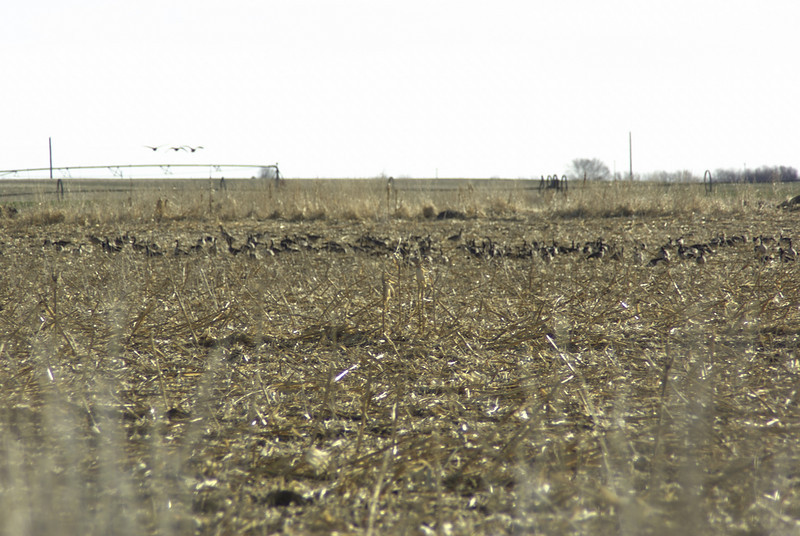 Geese in field outside of Othello, WA.  2008