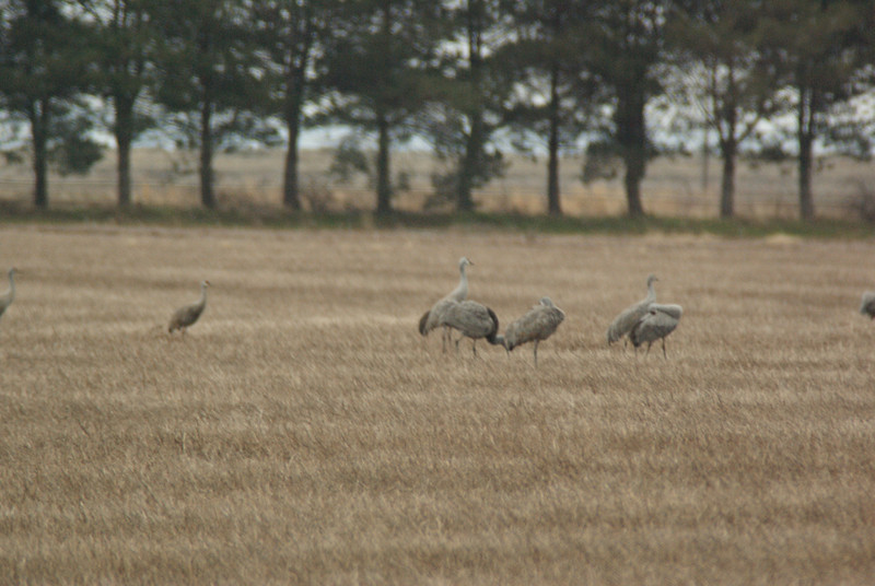 Cranes in field outside of Othello, WA.  2009.  This year I was trying out a new 400 mm/5.6 prime with a 1.7X TC.  So some of these photos are a bit off (still need practice).