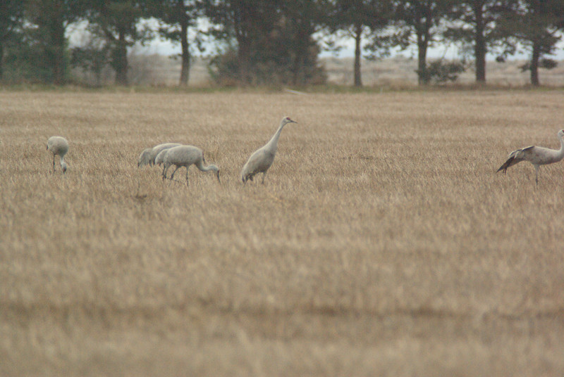 Cranes in field outside of Othello, WA.  2009