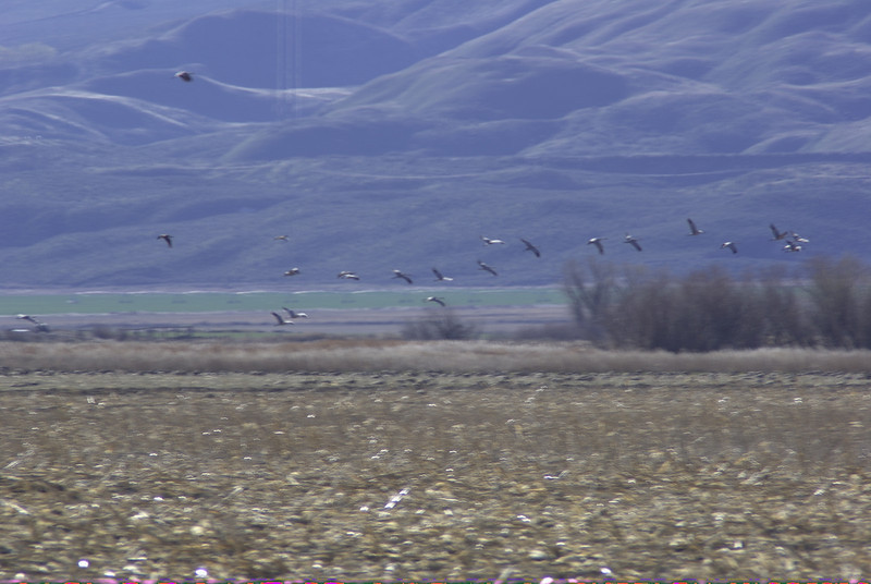 Flock of birds west of Othello, WA  2008