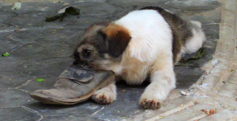Dog with shoe.