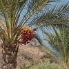 Date Tree, Magdala
