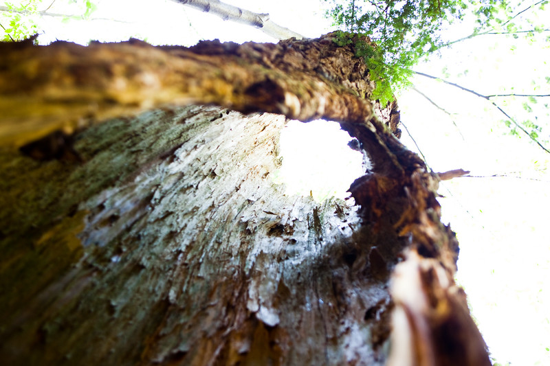 Hollow tree trunk at Swallow Falls State Park