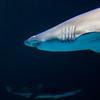 Shark at Mandalay Bay