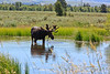 Along the way, this moose was foraging in a nearby marsh.