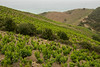 All along the way the hillsides were planted  with grapes -- everywhere!