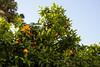 Orange trees everywhere!