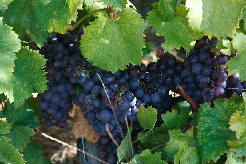 . . . admired the grapes hanging heavy on the vines  . . .