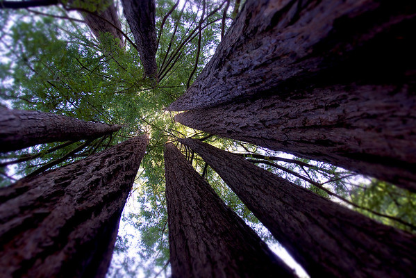 April 15, 2012 - A small grouping of redwoods within walking distance of where I'm staying in Mill Valley, CA.