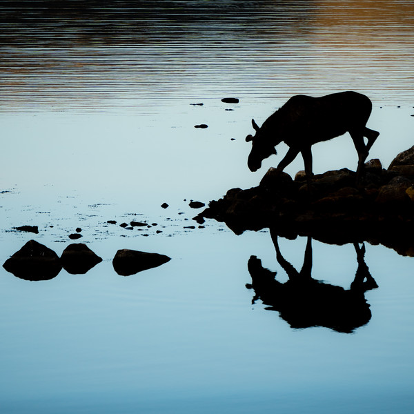 Reflection Of An Elk