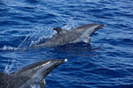Two pantropical spotted dolphin (Stenella attenuata) jumping out of the water. Ogasawara Islands, Japan.