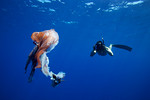 Photographer Tony Wu photographs the remains of a large pelagic octopus presumably spit up by a sperm whale. Ogasawara Islands, Japan.