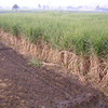 sugar cane in the field