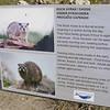 the dassie, also known as a rock hyrax