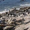 penguins at Stony Point