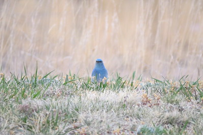 Colorado Bluebird! The mountain bluebird is a medium-sized bird weighing about 30 g with a length from 16–20 cm. They have light underbellies and black eyes. Adult males have thin bills and are bright turquoise-blue and somewhat lighter underneath. Wikipedia