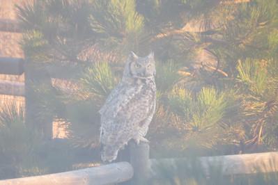 Owl of Asbee in the misty morning sunlight!