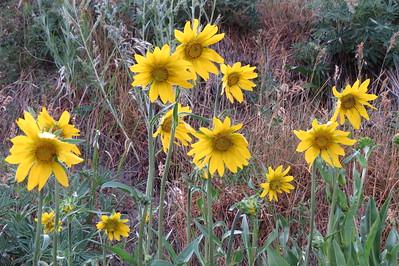 IMG_0018 Aspen Sunflower Brush Creek Trail Crested Butte CO